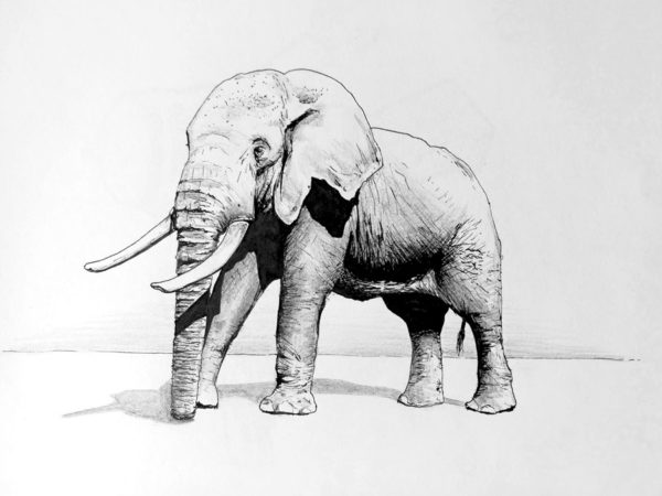 illustrations elefant dessin drawing draw